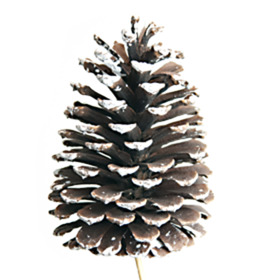 Christmas Pinecone natural 10-12cm with white tips on 50cm