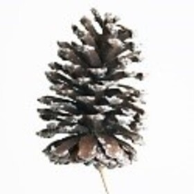 Christmas Pinecone 15-16cm white tips on 50cm pick