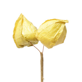 Physalis 2x(5cm) on 50cm bamboo stick yellow